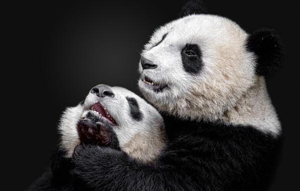 Picture Panda, bamboo bear, the giant Panda