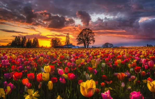 Picture field, sunset, flowers, nature, spring, the evening, tulips