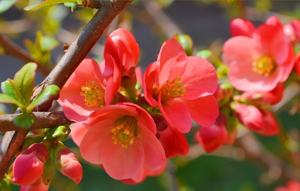 Picture macro, branch, Spring, Spring, Flowering, quince, Flowering