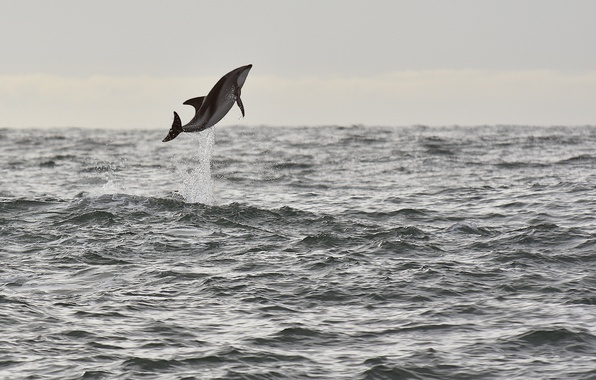 Picture sea, jump, seascape, splash, wildlife, dolphin
