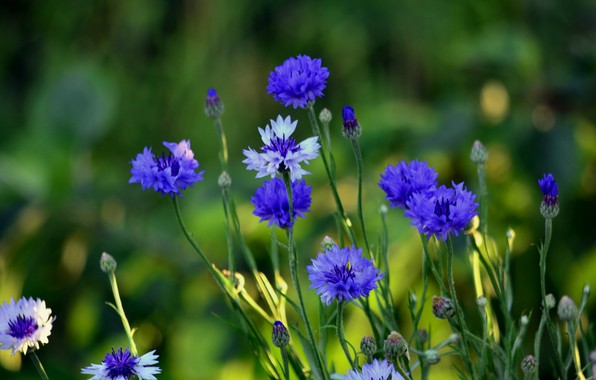 Picture summer, flowers, plants, cornflowers, cottage, flora