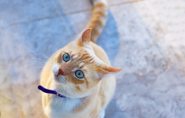 Picture look, muzzle, blue eyes, red cat, cat