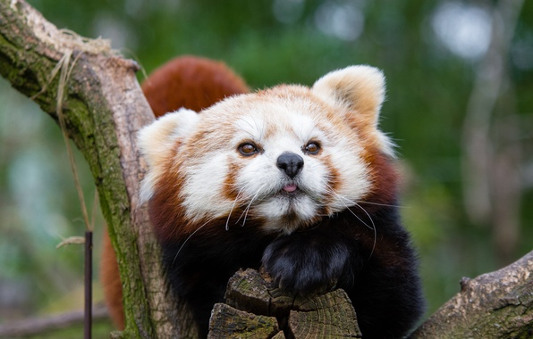 Picture face, red Panda, red Panda, spotted