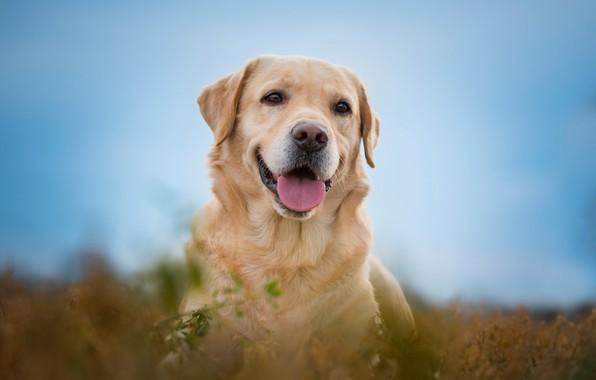 Picture language, look, face, joy, portrait, dog, bokeh, Labrador Retriever