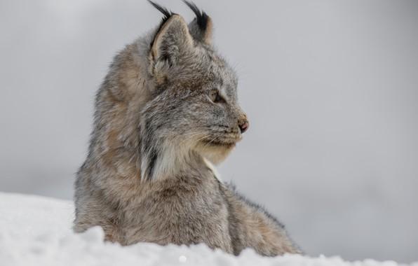 Picture face, snow, background, portrait, profile, lynx, wild cat