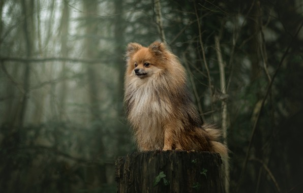 Picture forest, trees, stump, dog, Spitz