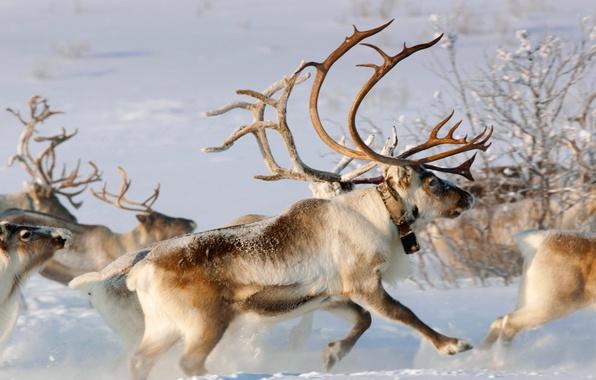 Picture winter, snow, Norway, horns, team, reindeer, The Karasjok, Finnmark