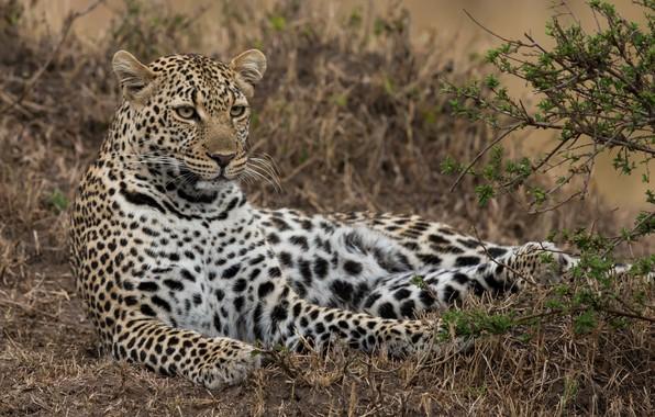 Picture stay, leopard, wild cat, Kenya, Masai Mara