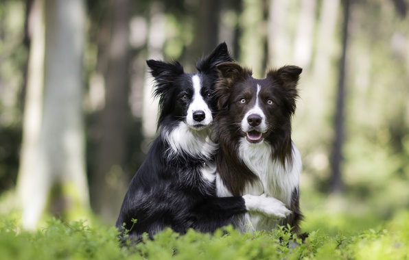 Picture dogs, nature, a couple, friends, bokeh, two dogs, hugs, The border collie
