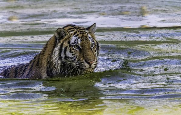 Picture tiger, predator, bathing, wild cat