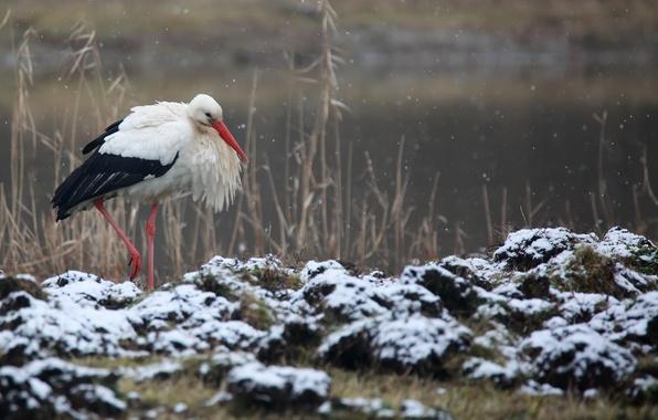 Picture winter, nature, bird, stork