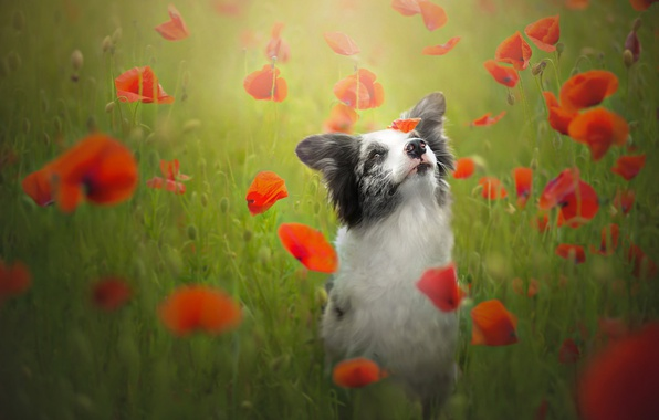 Picture flowers, mood, Maki, dog, meadow, The border collie