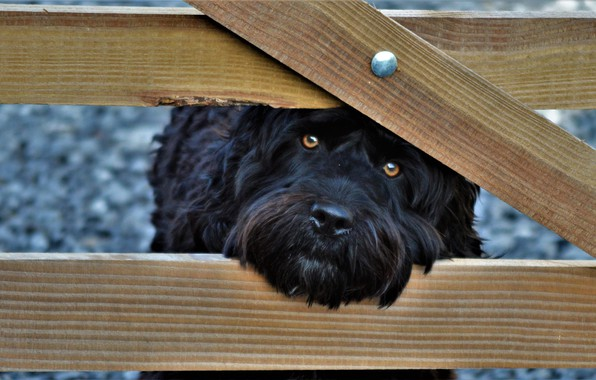 Picture look, face, the fence, dog, dog