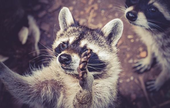Picture legs, animals, raccoons