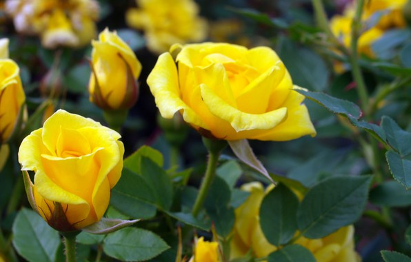 Picture Bush, roses, yellow, buds