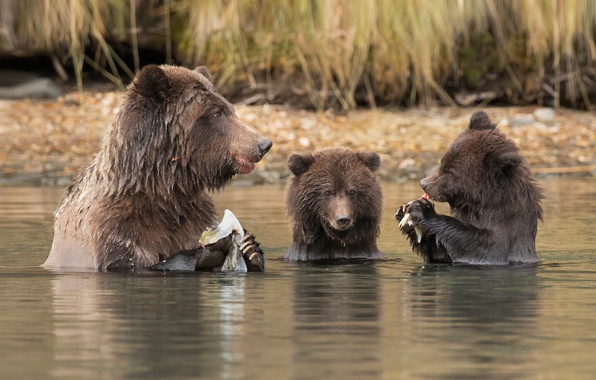 Picture water, river, bears, lunch, bear, successful fishing