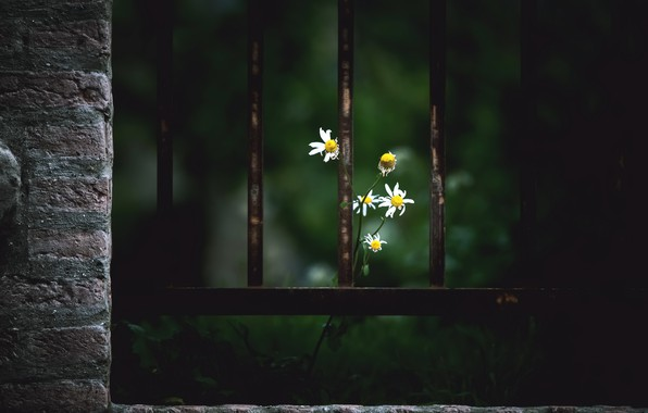 Picture flowers, the fence, chamomile
