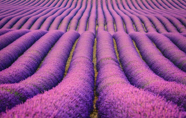 Picture field, flowers, nature, field, the bushes, lavender