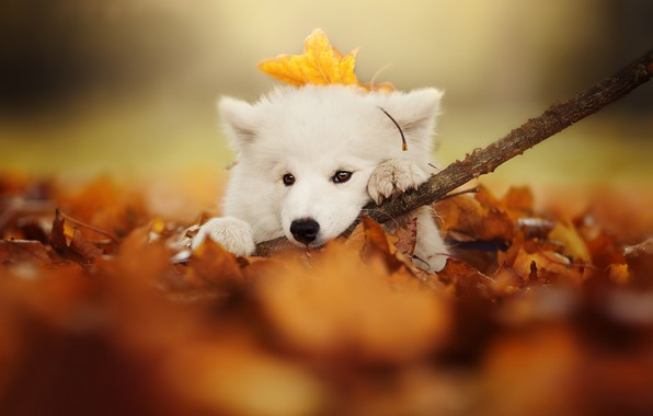 Picture autumn, look, leaves, dog, branch, puppy, face, bokeh, Samoyed