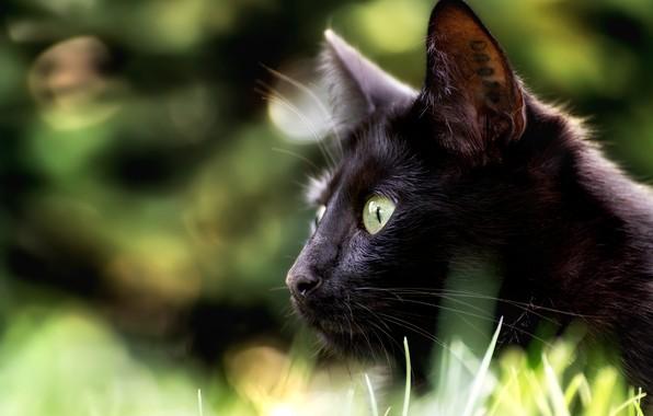 Picture cat, look, muzzle, profile, bokeh, black cat