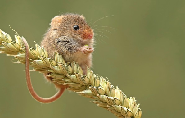 Picture nature, grain, mouse, the mouse is tiny