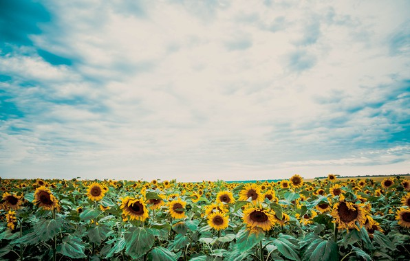 Picture autumn, summer, sunflowers, sunset, nature, beauty, the evening, August, September, July