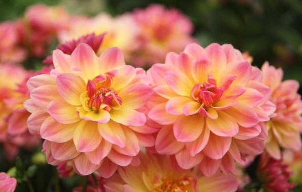 Picture petals, bokeh, dahlias