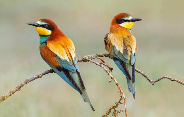 Picture birds, background, branch, pair, the European bee-eater Golden, schurka