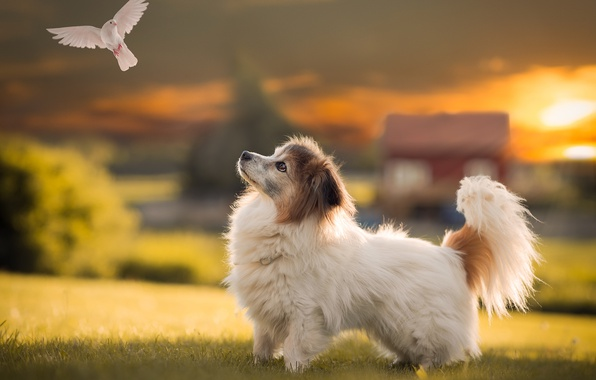 Picture field, white, summer, the sun, rays, light, flight, sunset, house, bird, glade, dove, cute, dog, …