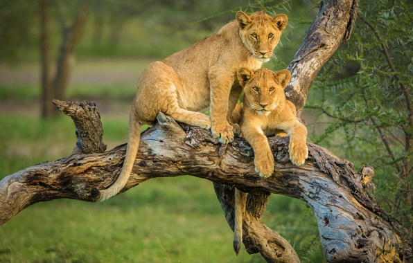 Photo wallpaper a couple, the cubs, lions, snag