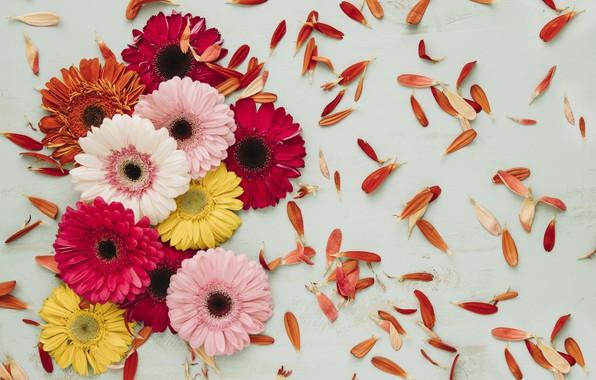 Picture Flowers, Petals, Gerbera