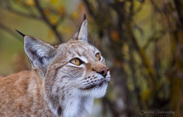 Picture look, face, portrait, predator, lynx, wild cat, looks