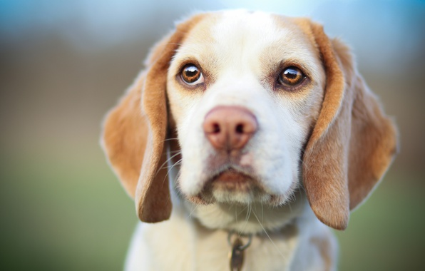 Picture look, dog, muzzle, puppy, Beagle