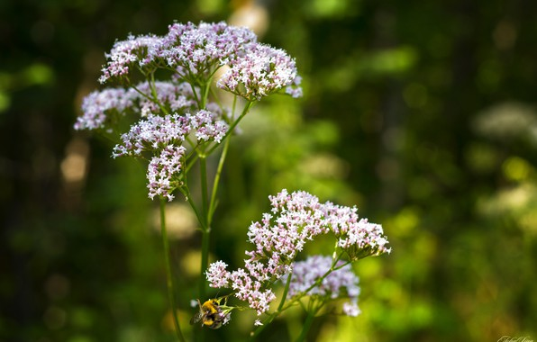 Picture summer, grass, flowers, nature, green, bee, background, mood, Wallpaper, plant, insect, environment