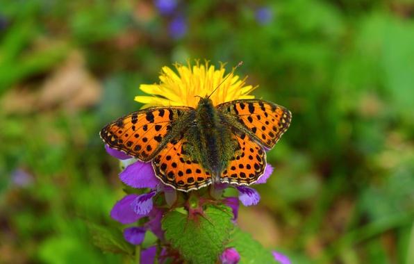 Picture flower, Macro, Spring, Butterfly, Spring, Bokeh, Macro, Butterfly