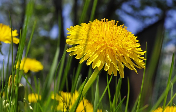 Picture grass, yellow, dandelion