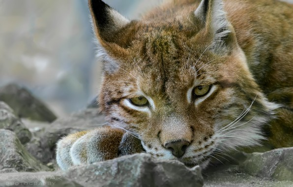 Picture face, lynx, lying on the stone