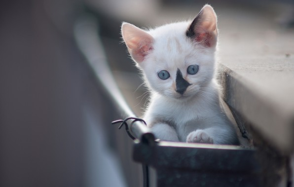 Picture baby, muzzle, kitty, bokeh, blue eyes