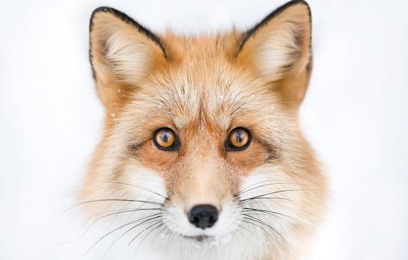 Picture look, face, portrait, Fox, Fox
