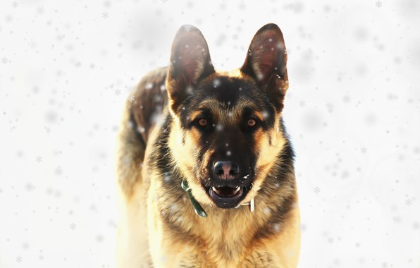 Picture look, each, dog, East European shepherd