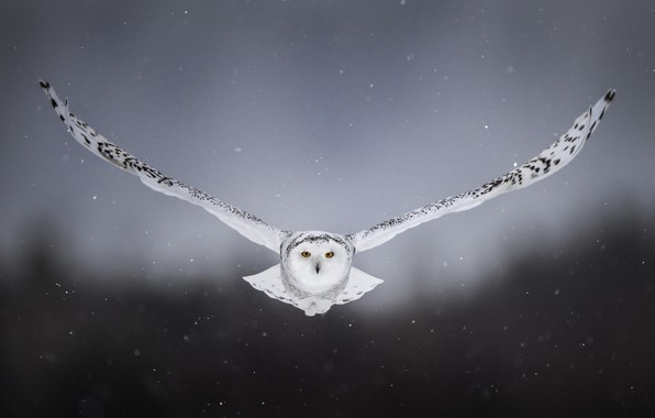 Picture snow, background, owl, bird, wings, flight, snowy owl, white owl