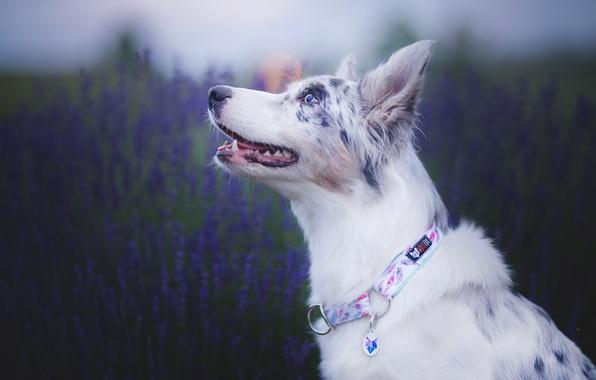 Picture face, dog, lavender, bokeh, Australian shepherd, Aussie
