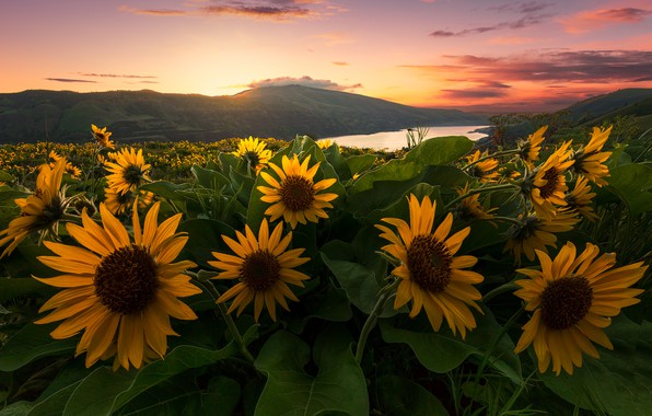 Picture sunset, flowers, river, hills, meadow, Oregon, Oregon, Columbia River, Columbia River Gorge, the Columbia river, …