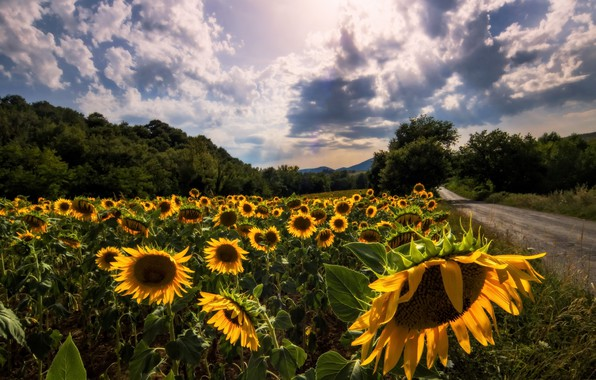 Picture road, summer, sunflowers