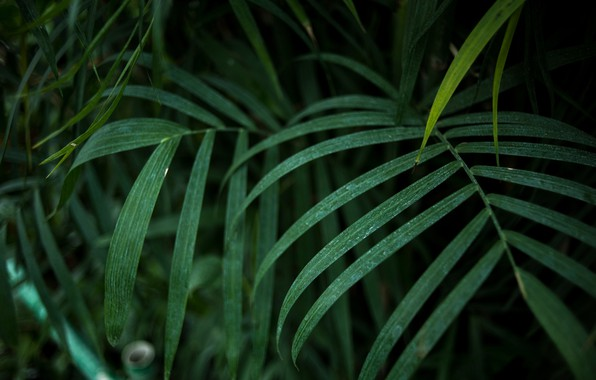 Picture summer, nature, tropics, Palma, tree, heat, moisture, palm trees, botany, palm leaves