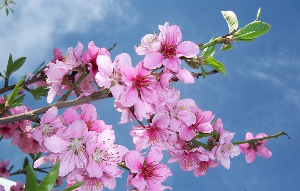 Picture the sky, flowers, branch, flowering, peach, mamala ©