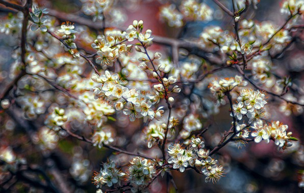 Picture branches, spring, flowering, spring blossom