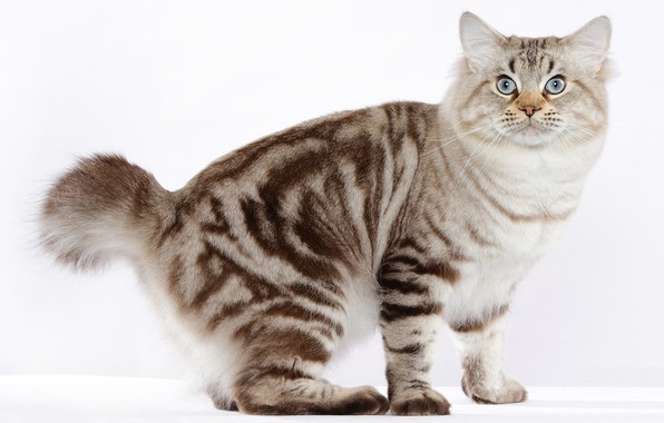 Picture cat, breed, handsome, American Bobtail