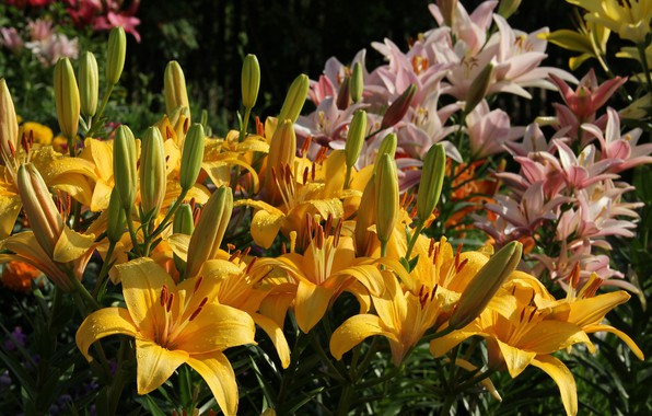 Photo wallpaper flowers, beauty, Lily, garden, nature, cottage, flowering, summer, July