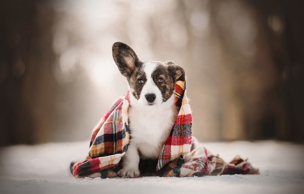 Picture look, puppy, plaid, bokeh, doggie, Welsh Corgi